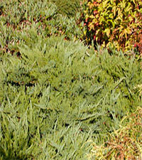Juniperus sabina 'Tamariscifolia No Blight'