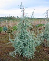 Juniperus scopulorum 'Candleabra'