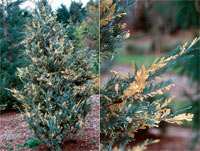 Juniperus scopulorum 'Snow Flurries'