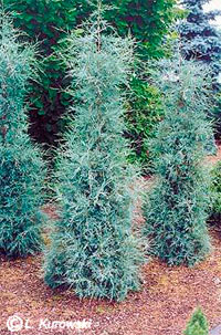 Juniperus scopulorum 'Springbank'