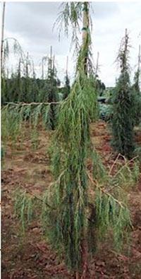 Juniperus scopulorum 'Tollenson's Weeping'