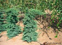 Juniperus squamata 'Prostrata'