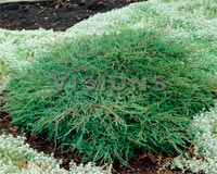 Juniperus virginiana 'Blue Cloud'