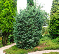 Juniperus virginiana 'Blue Mountain'