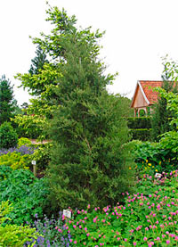 Juniperus virginiana 'Burkii'
