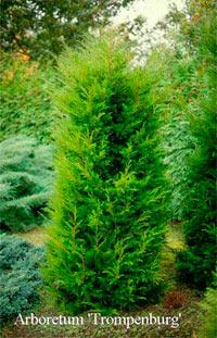 Juniperus virginiana 'Canaertii'