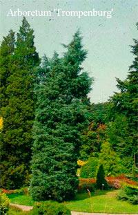 Juniperus virginiana 'Glauca'
