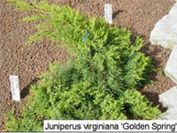 Juniperus virginiana 'Golden Spring'