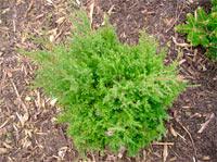 Juniperus virginiana 'Harmony W.B.'