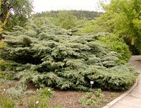 Juniperus virginiana 'Hetzii'