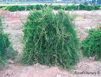 Juniperus virginiana 'Reptans'