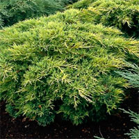 Juniperus x pfitzeriana 'Gold Coast'