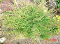 Juniperus x pfitzeriana 'Ramlosa'