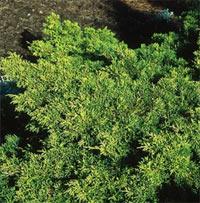 Juniperus x pfitzerianza 'Old Gold'