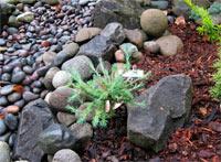 Larix kaempferi 'Newport Beauty'