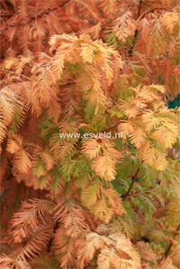 Metasequoia glyptostroboides 'Ogon' ('GOLDRUSH')