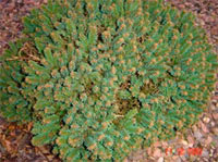Picea abies 'AAVA'