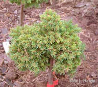 Picea abies 'Babice'
