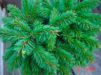Picea abies 'Bachlov'