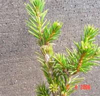 Picea abies 'Barbora'
