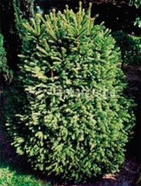 Picea abies 'Barryi'
