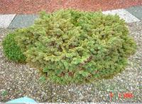 Picea abies 'Beglora'