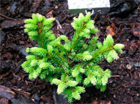 Picea abies 'Bella'