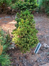 Picea abies 'Benelli Dwarf'