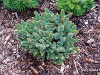 Picea abies 'Benetice'