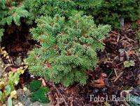 Picea abies 'Beskydy Nr2'