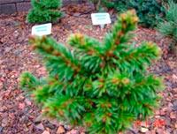 Picea abies 'Blata'