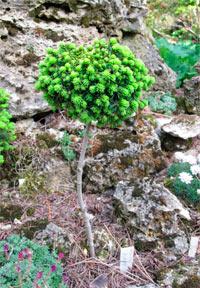Picea abies 'Blatny'