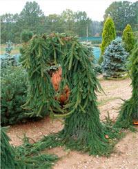 Picea abies 'Bohemica Pendula'