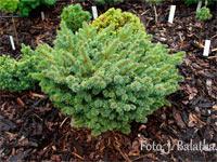 Picea abies 'Bojisko'
