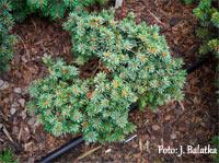 Picea abies 'Brtnice'