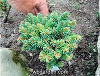 Picea abies 'Budislav'