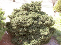 Picea abies 'Calvary Upright'
