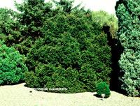 Picea abies 'Capitata'