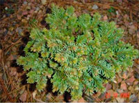 Picea abies 'Cejkovky'