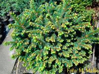Picea abies 'Certovy Hrady Nr1'