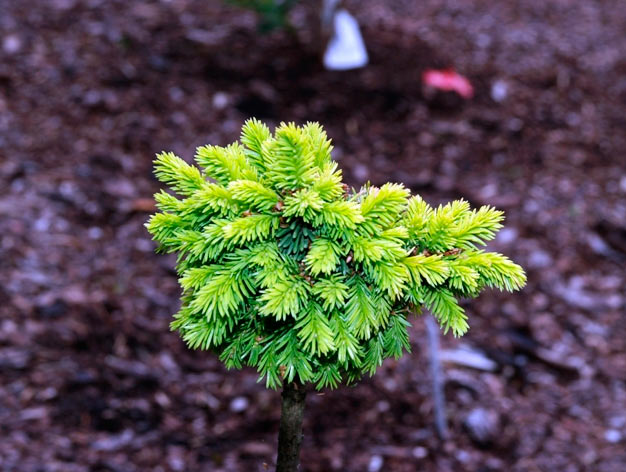 Picea abies 'Cervena'