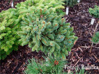 Picea abies 'Choltice'