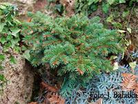 Picea abies 'Choustnik'