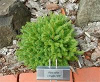 Picea abies 'Chrudim'