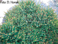 Picea abies 'Chuchelna'