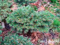 Picea abies 'Cikanska Cesta'