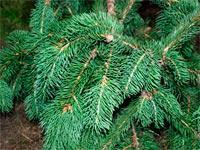 Picea abies 'Cincinata'
