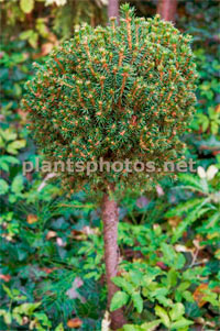 Picea abies 'Cisar'