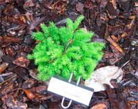 Picea abies 'Coolwyn Globe' (syn. P. abies 'Koelewijn')