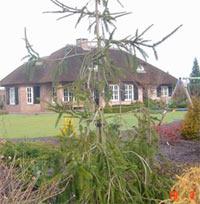 Picea abies 'Cranstonii'